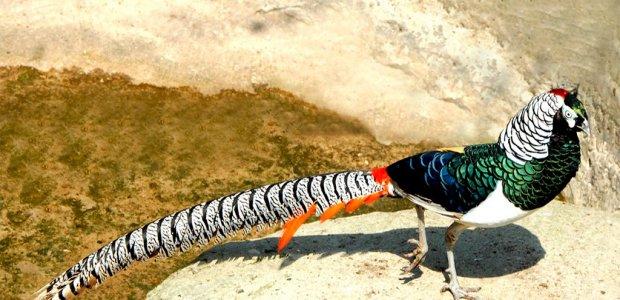 Изображение - Разведение и содержание фазанов в домашних условиях 9b89db0d1_620x300