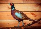 Изображение - Разведение и содержание фазанов в домашних условиях e22141342_140x100