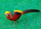 Изображение - Разведение и содержание фазанов в домашних условиях f92cd525c_140x100