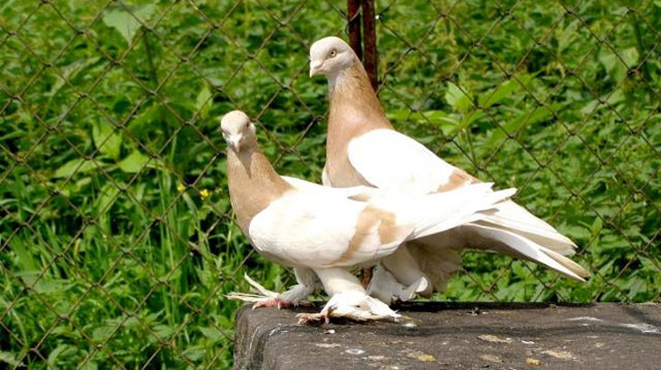 Порода голубей агараны