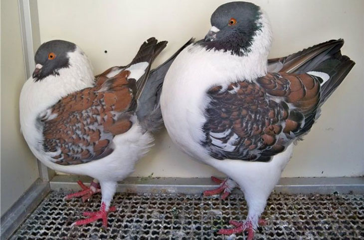 6 самых популярных пород мясных голубей