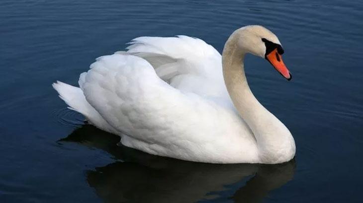 Лебедь-шипун как выглядит где живт что ест