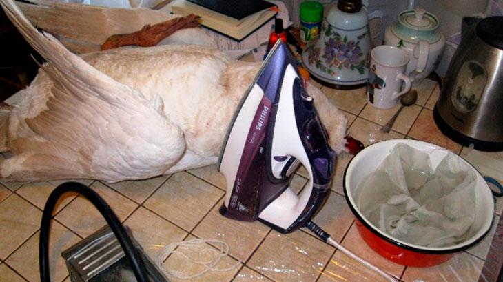 Как можно быстро щипать гусей в домашних условиях?