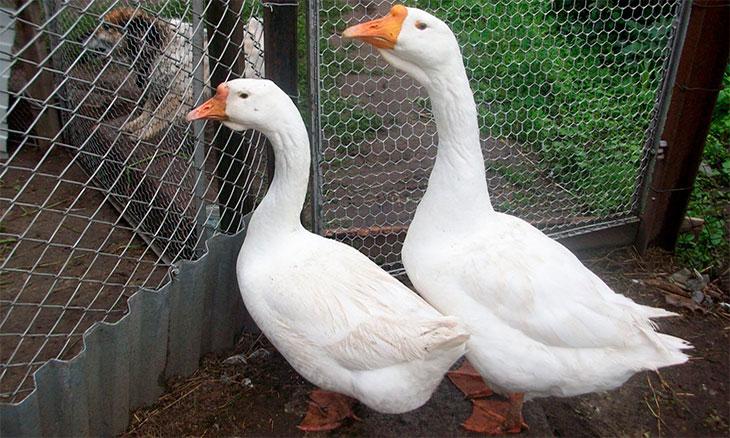 Как отличить гуся от гусыни: пошаговая инструкция