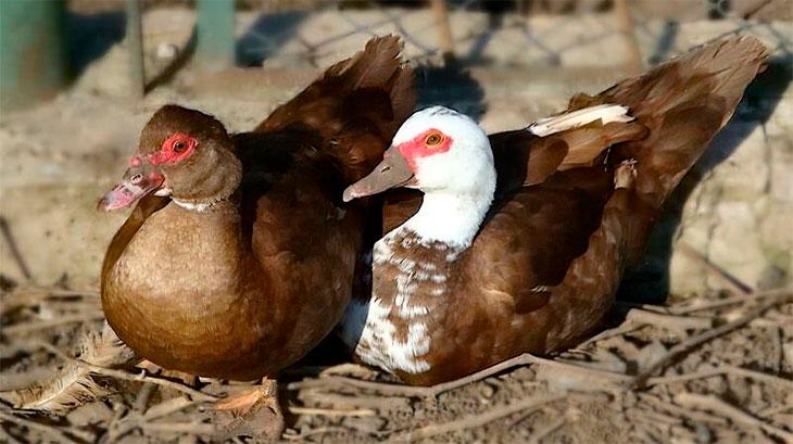 В каком возрасте гуси начинают нести яйца?