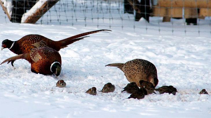 Изображение - Разведение и содержание фазанов в домашних условиях Razvedenie-i-soderzhanie-fazanov-v-domashnih-uslovijah9