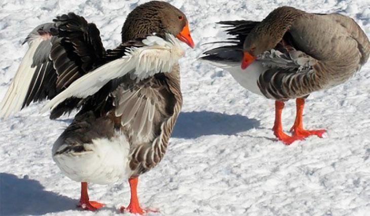 Содержание гусей в зимний период