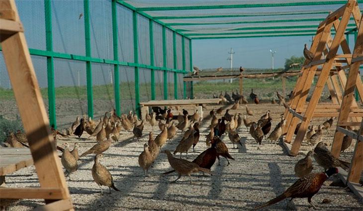 Вольеры для фазанов своими руками