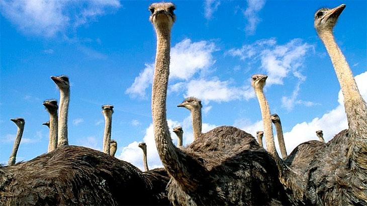 Бизнес - разведение страусов экзотика или золотая жила