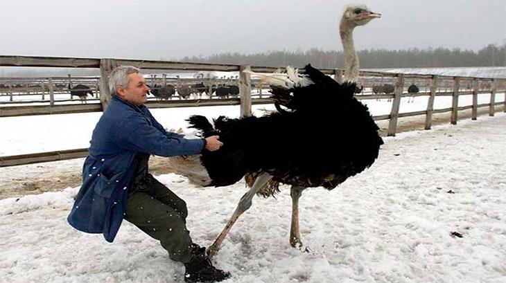 Как колоть страуса на мясо?