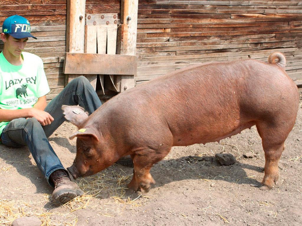 фотографии свиней дюрок