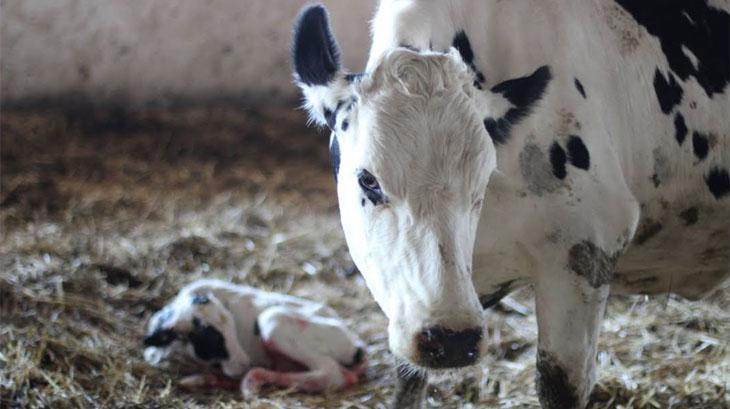 Особенности аборта у коров