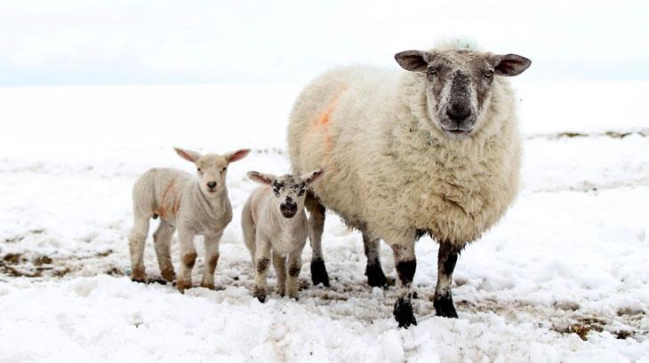 Витамины для овец