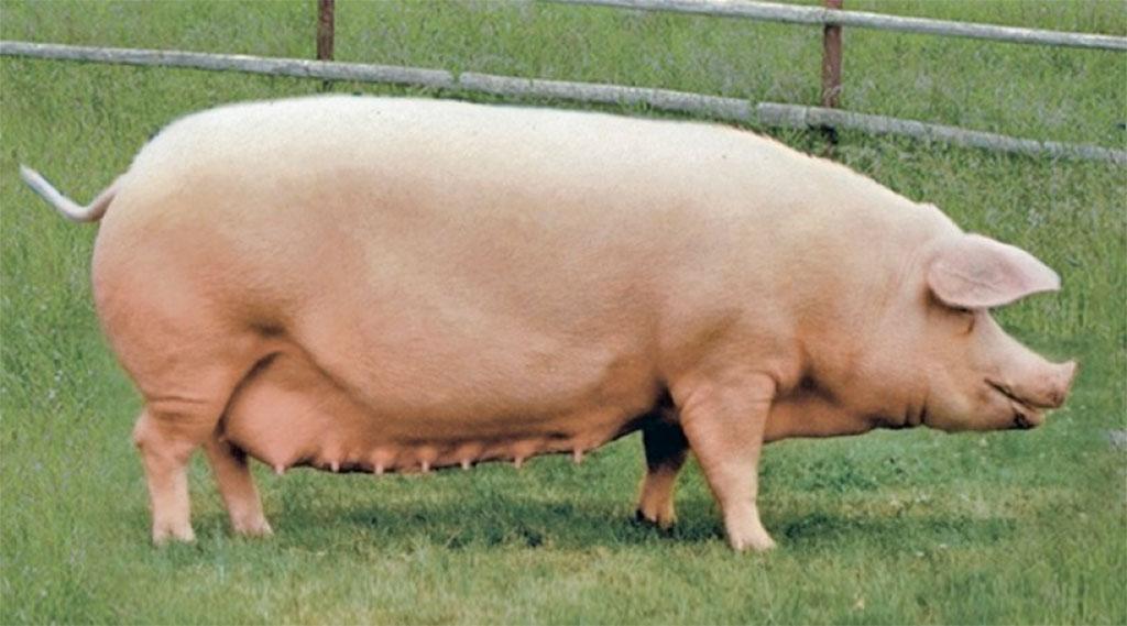 является картинки свиней ландрас только повторяет бьюти-образы