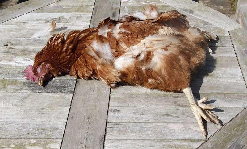 Дохлая курица