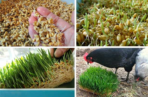 Кормление кур пророщенным зерном
