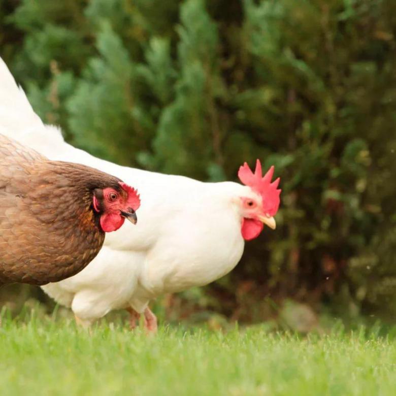 Как определить возраст курицы