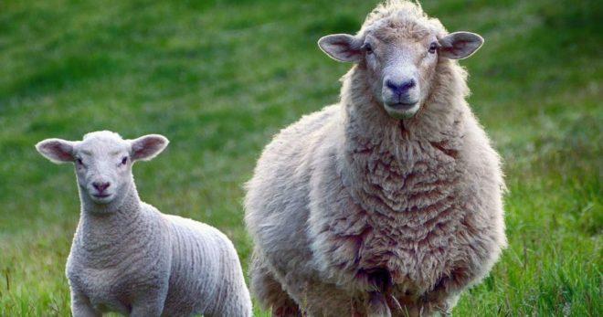 Обработка овец