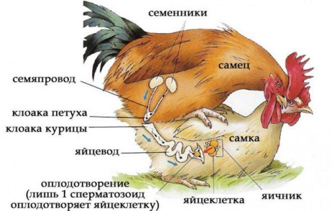 Процесс оплодотворения курицы