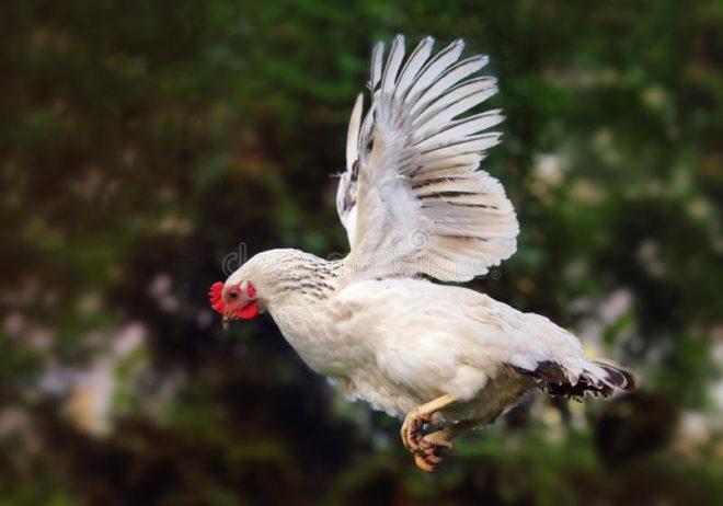 Перелет курицы через забор