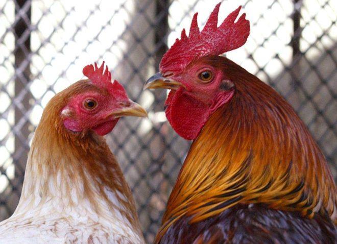 Нужен ли петух курице для яиц