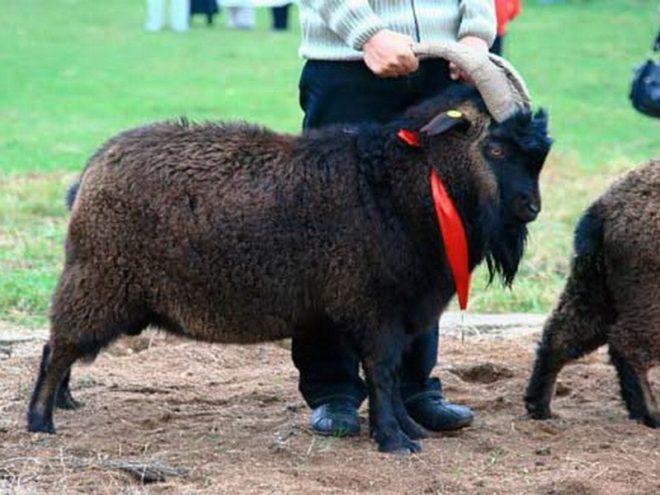 Горно-алтайская коза