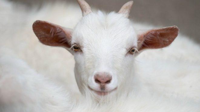 Как определит возраст козы