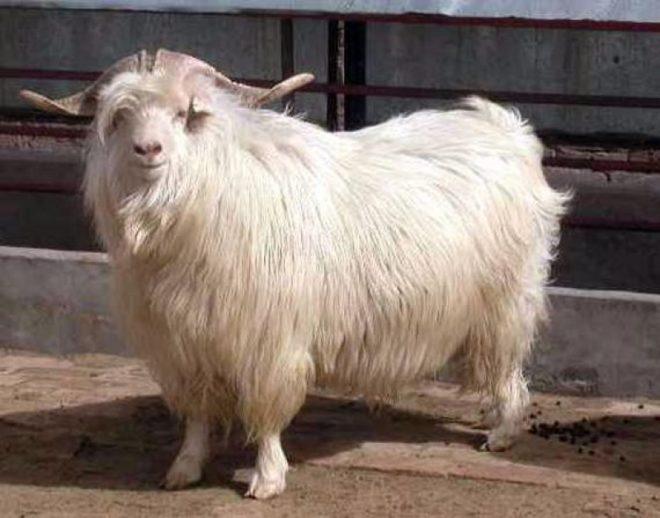 Оренбургская коза