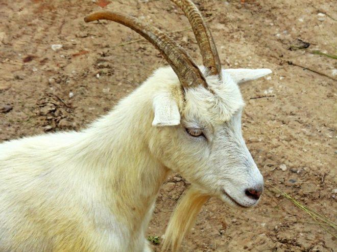 Рога козы