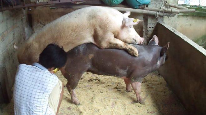 Сулчка свиней