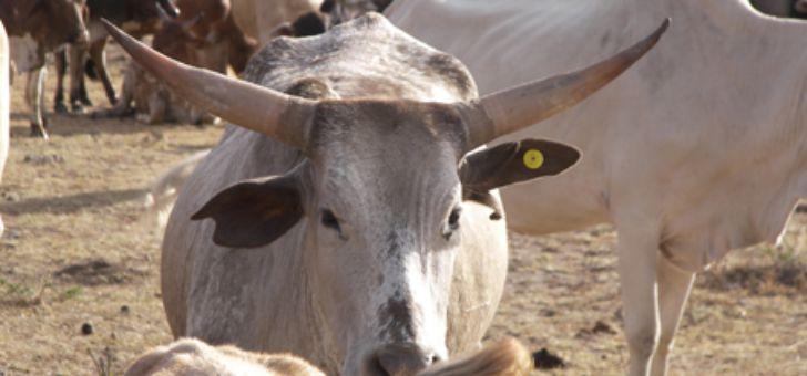 Крупнорогатый скот