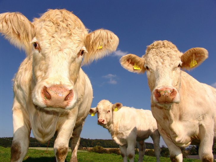 Коровы пасутся в загоне