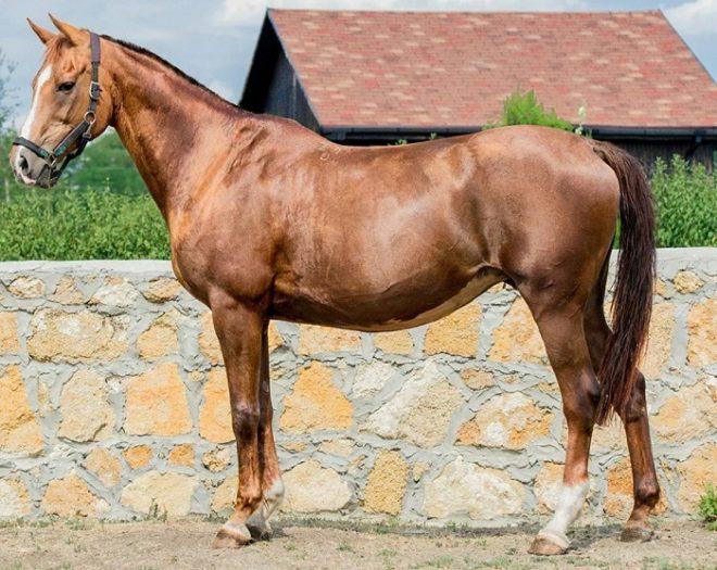 Буденнвская порода лошадей