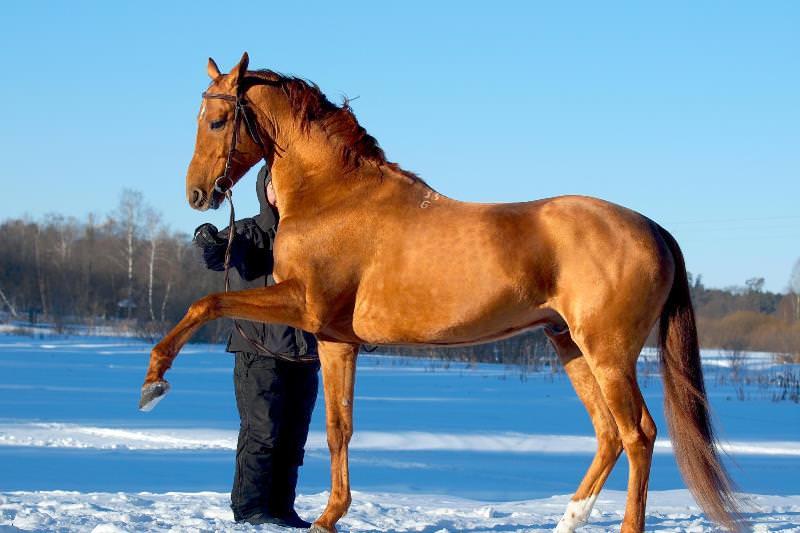 Экстерьер буденновских лошадей