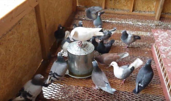 Выпаивание лекарства голубям