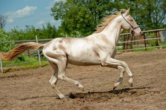 Ахалтекинскя порода лошадей