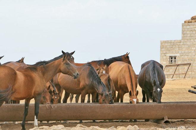 Кормление ахалтекинских лошадей