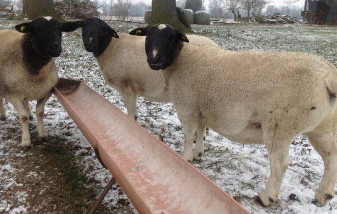 Дорпер кормление овец