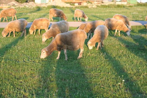 Комление овец