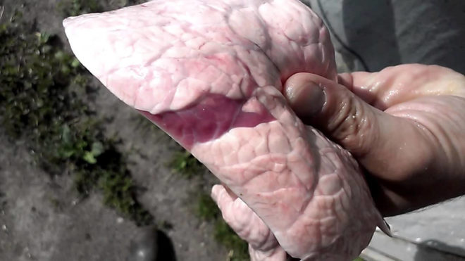 Пневмония у свиней