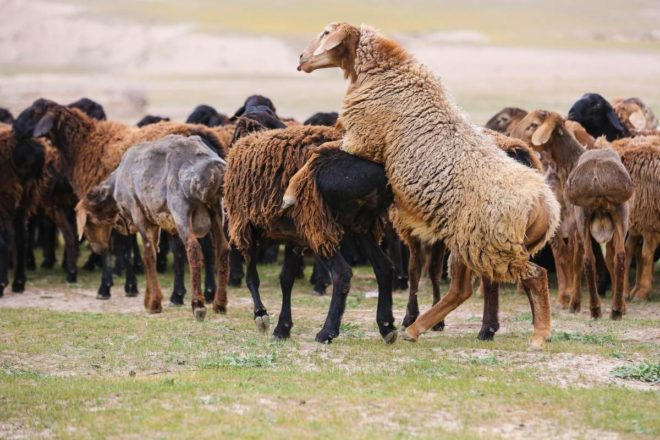 Разведение гиссарских овец
