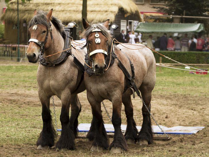 Бельгийские ломовые лошади