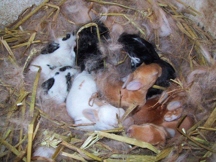 Во сколько месяцев отсаживают крольчат от крольчихи