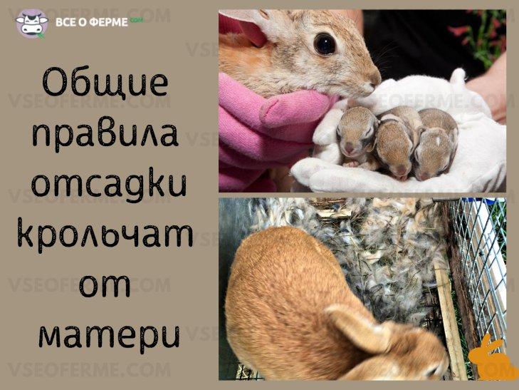 В каком возрасте нужно отсаживать крольчат от крольчихи и как после этого их нужно кормить?