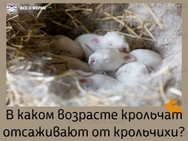 В каком возрасте крольчат отсаживают от матери