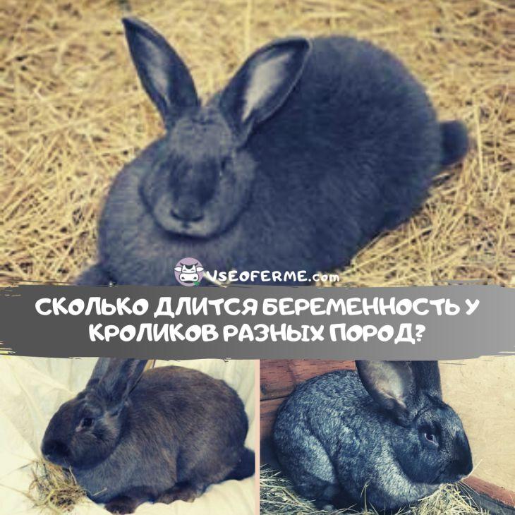 Сколько длится беременность у кроликов разных пород?