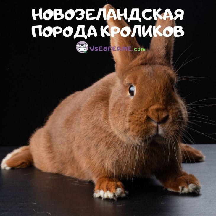 Новозеландский кролик: описание породы, характеристика