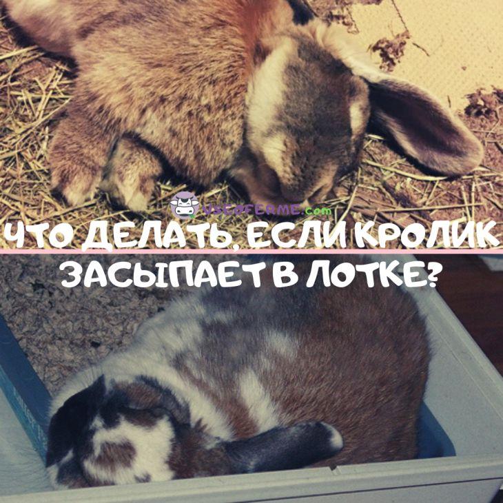 Что делать, если кролик засыпает в лотке?