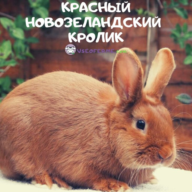 Новозеландский красный кролик: характеристика