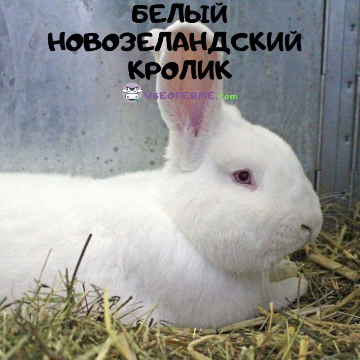 кролик новозеландский белый, описание породы
